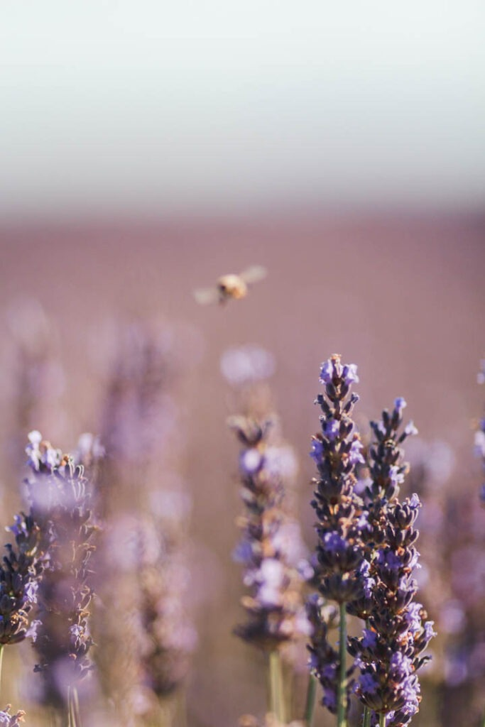a bee about to land on a lavender flower