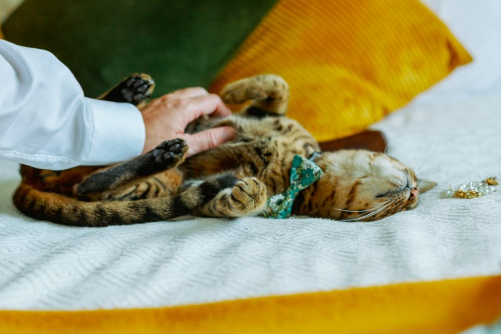 adventure elopement a cat getting pampered wearing a bow tie